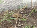 Jak probíhají záchranné transfery žab?